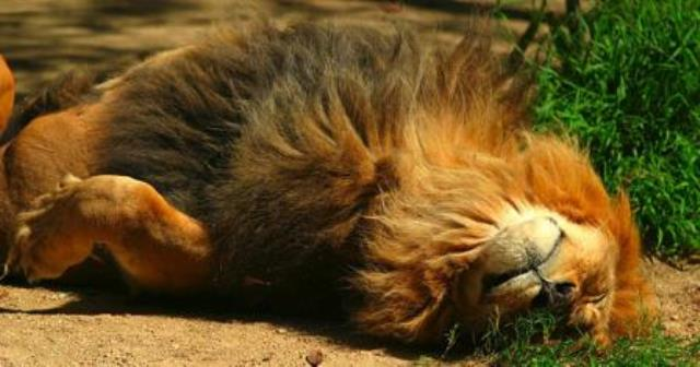 Pourquoi rêver de lion mort ?