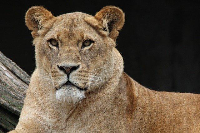 Pourquoi rêver de lionne ?