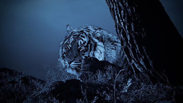 Que signifie rêver de tuer un tigre ?