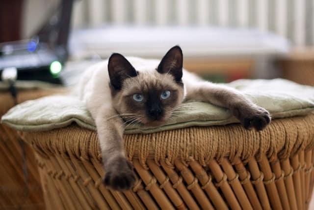 Pourquoi rêver de chat siamois ?