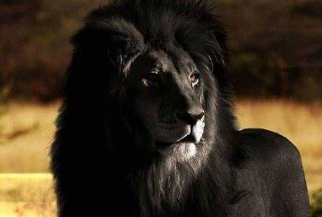 Que signifie rêver de lion noir ?