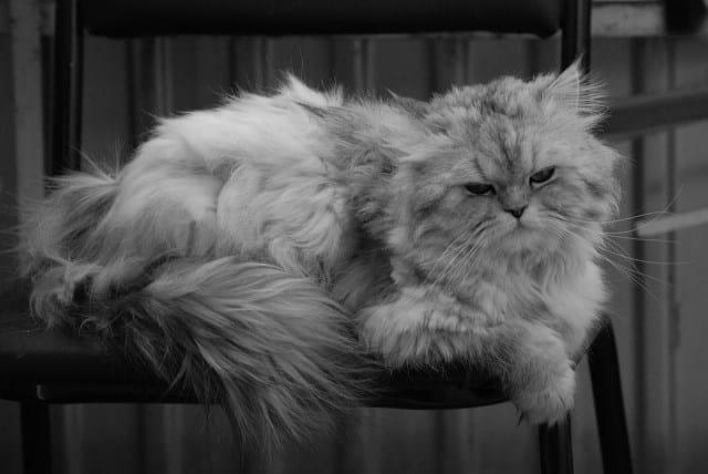Pourquoi rêver de chat persan ?