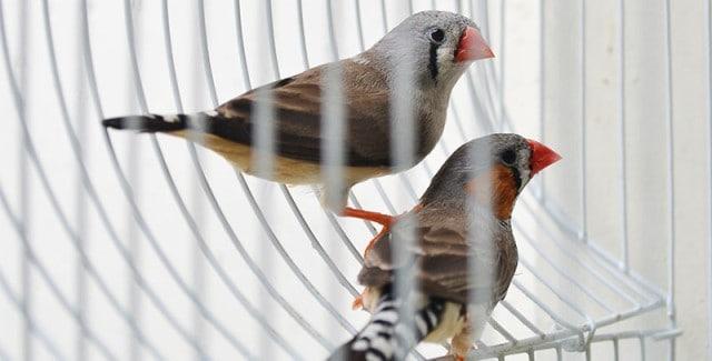 Que signifie rêver d'oiseaux en cage ?