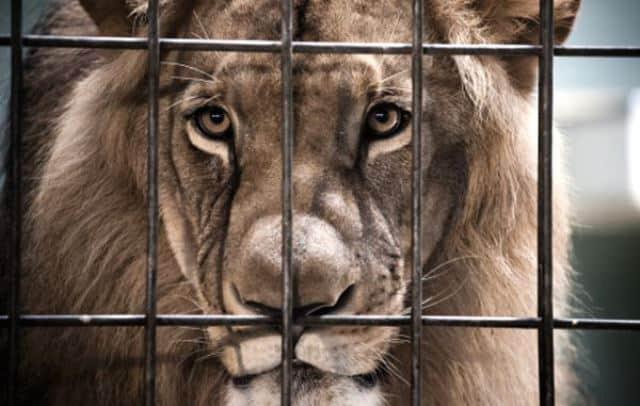 Que signifie rêver de lion en cage ?
