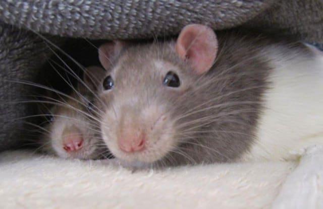 Que signifie un rêve de souris et de rats ?