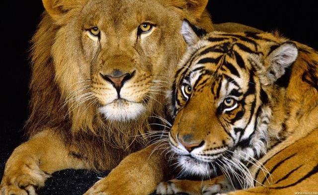Que signifie rêver de tigre et de lion ?