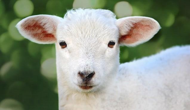 Que signifie un rêve d'agneau blanc ?
