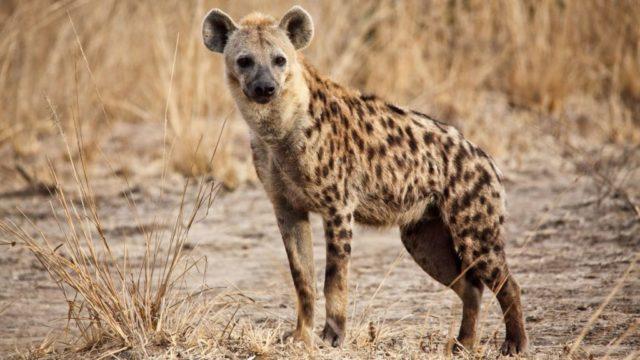 Que signifie rêver de hyène ?