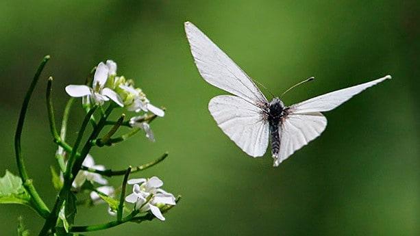 Que signifie un rêve de papillon blanc ?