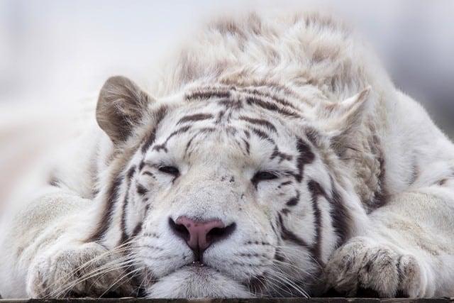 Que signifie un rêve de tigre blanc ?
