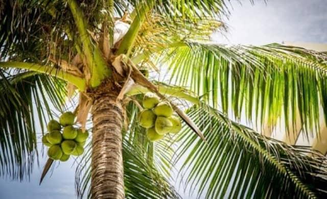 Que signifie rêver de cocotier ?