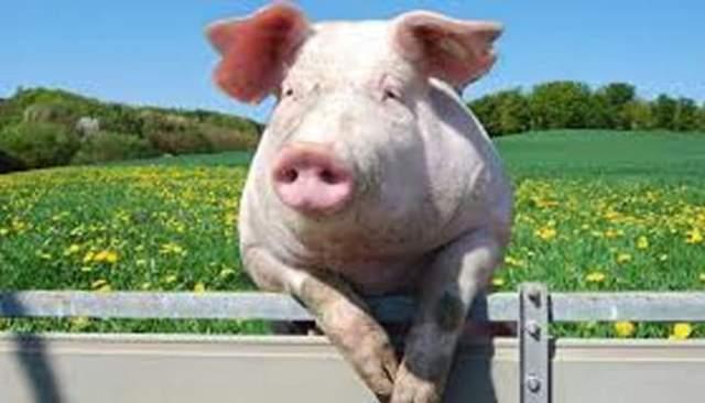 Que signifie rêver d'être mordu par un cochon ?