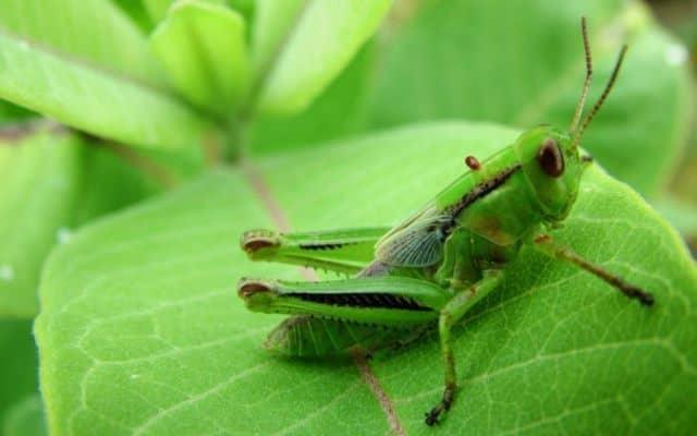 Que signifie rêver de criquet vert ?