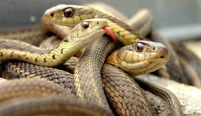 Que signifie rêver de plusieurs serpents ?