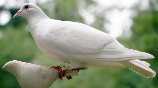 Que signifie rêver de colombe ?